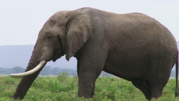 elephant grazing in bush