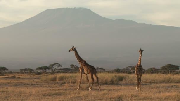 Giraffe sotto Monte kilimanjaro