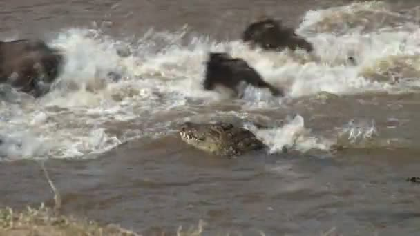 Crocodiles hunting wildebeests
