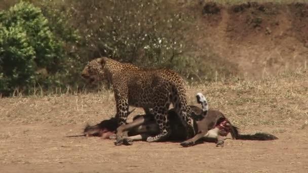 leopard with dead wildebeest