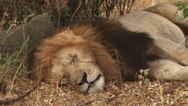 big manned lion