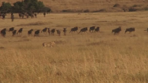 lion hunting wildebeests
