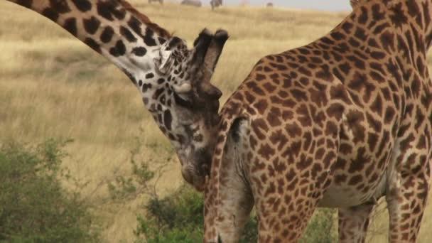 uomo di giraffe spingendo una femmina per accoppiamento
