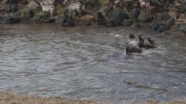 crocodile lets wildebeests pass by him