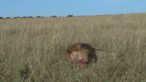 Černá hřívnatá Lev jíst