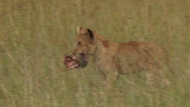 lvíče běží s jídlem