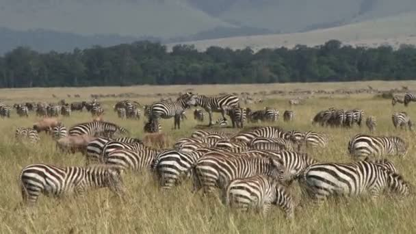 Migrazione di zebre in Africa