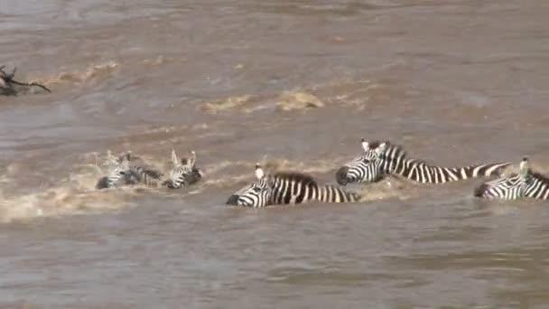 zebry a pakoně se snaží překročit řeku