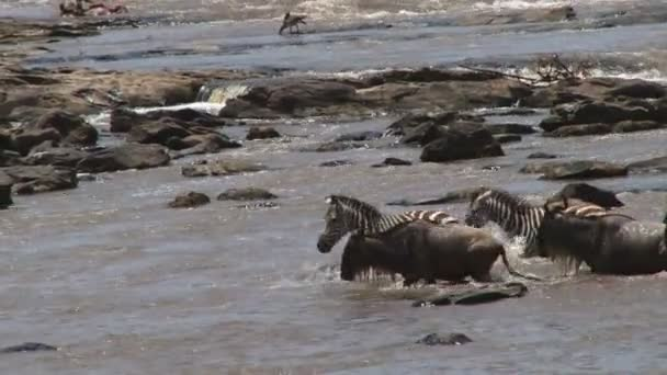 Zebras and wildebeests migration