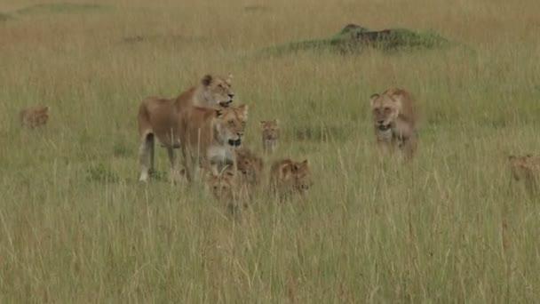 leonesse e cuccioli in movimento