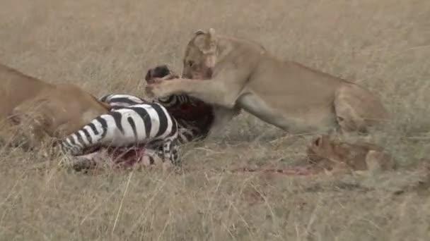 leoni che mangiano zebra