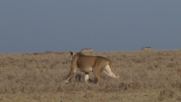 Lev se začnou lovit