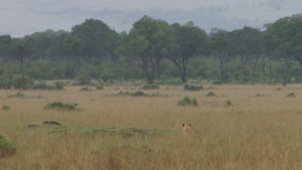 Leone caccia un facocero