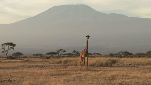 Žirafa stojící pod mount