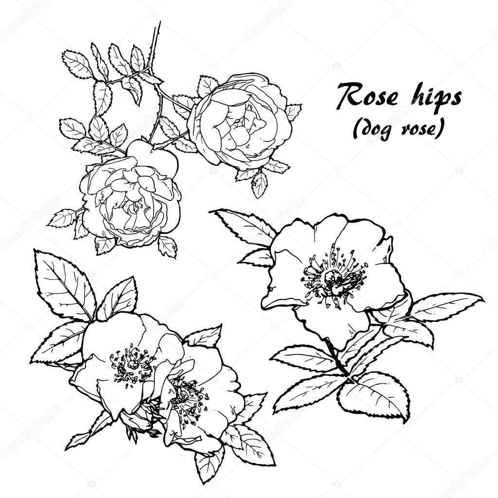 set of dog roses