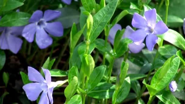 Small garden violet flowers