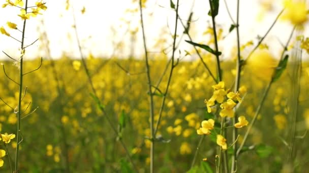 Field with blooming yellow flowers. close-up