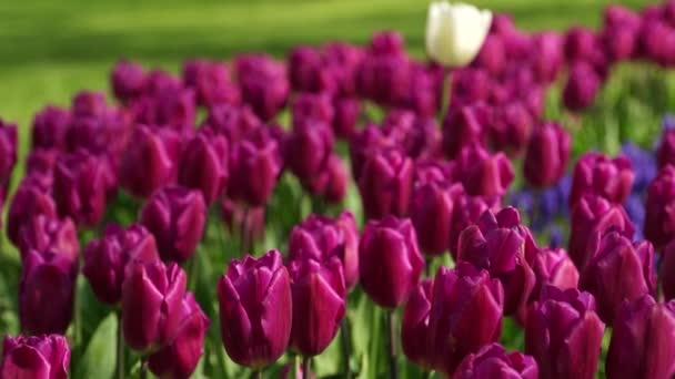 Tulipány v Gulhane Park v Istanbulu