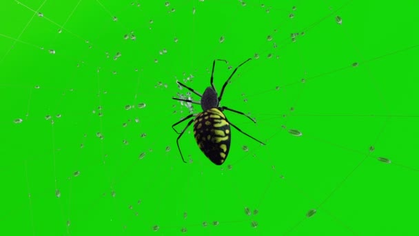 Poisonous Spider On Web Green Screen Stock Video C Chagpg