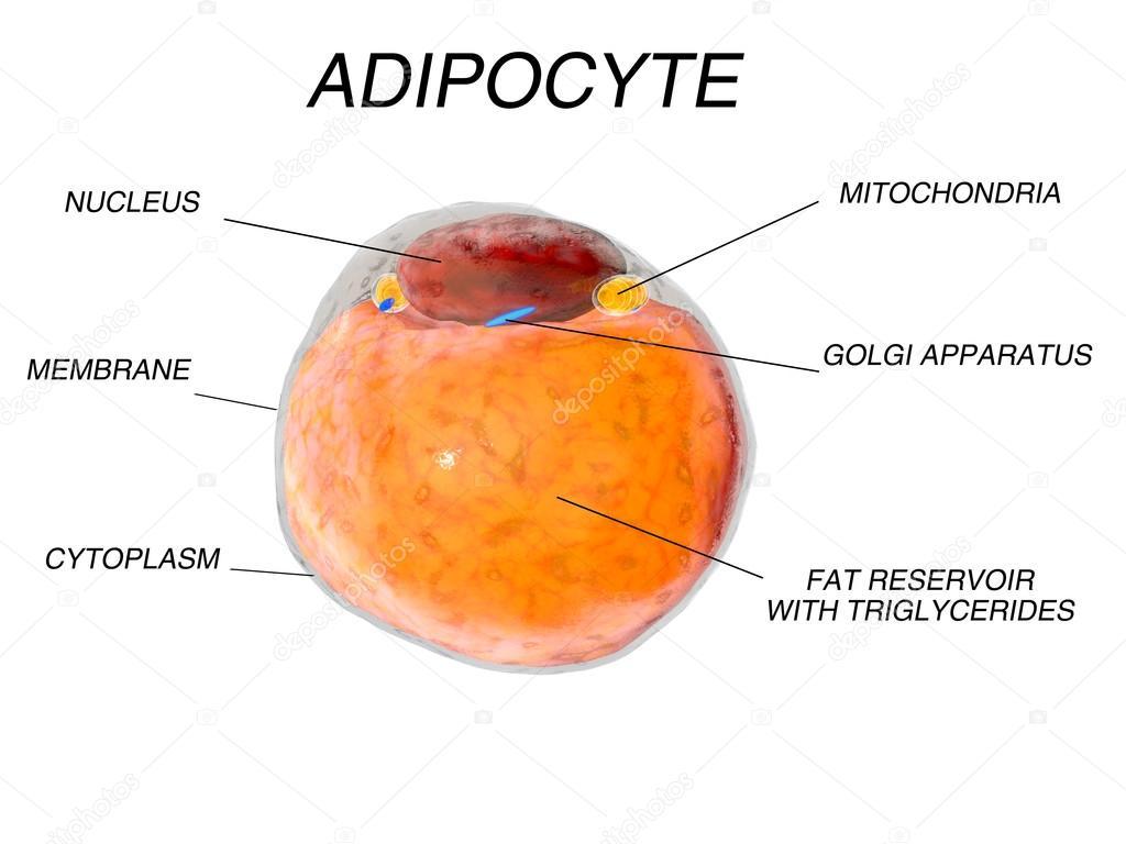 Fettzellen aus dem Fettgewebe. Adipozyten. im menschlichen ...