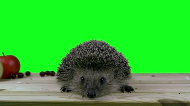 Európai sün. 4 k Green screen felvétel. Lövés Bmcc