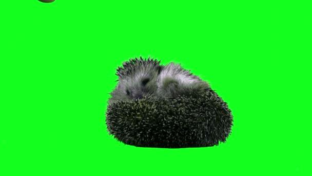 European hedgehog. 4K Green screen footage. Shot on BMCC