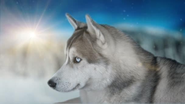 Kutya szibériai Fatima téli háttér. 4 k magas részletes felvételek. A fekete mágia mozi kamera lövés.