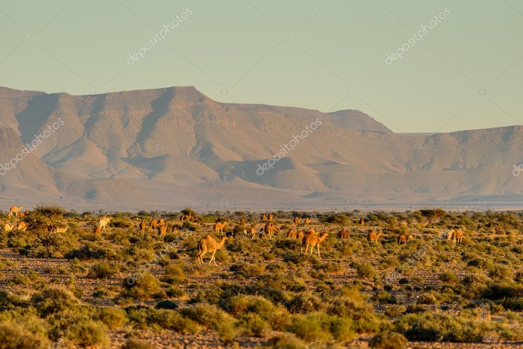 Large herd of camels