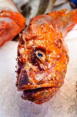 A fresh gurnard fish