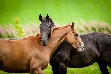 Two horses embracing in friendship