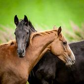 Fotografie Dva koně, zahrnující
