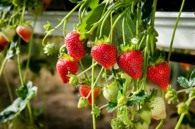 Strawberries being grown commercially