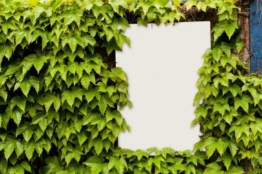 Ivy growing around a notice board
