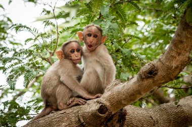 Monkeys on tree branch