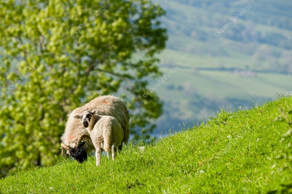 Ewe and lamb grazing