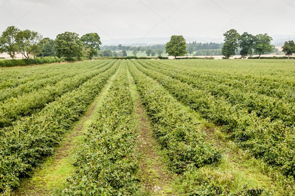 A large field of blackcurrants
