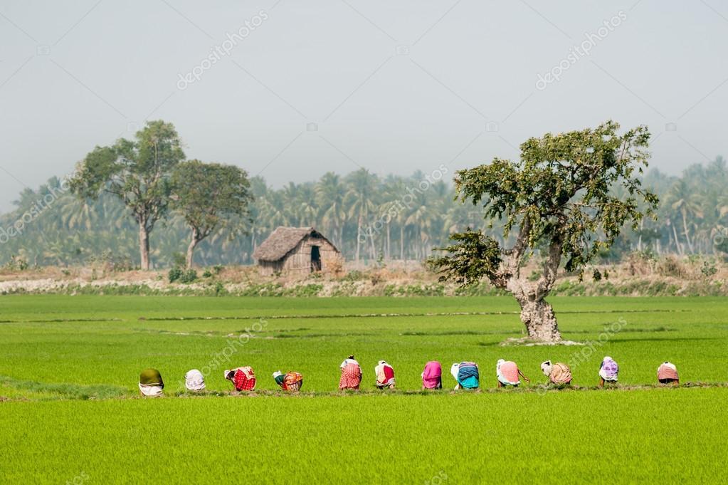 Women worikng on paddy field
