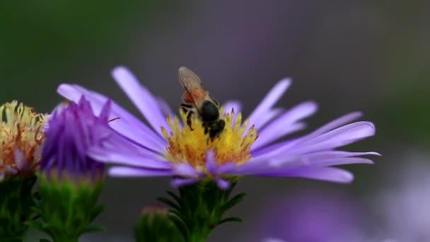 Honigbiene auf einer lila Blume.