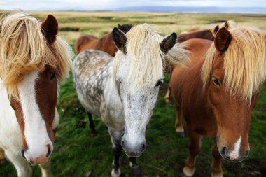 The Icelandic horses