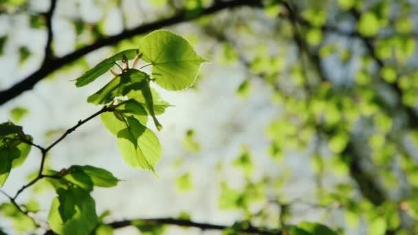 die Frühlingssonne scheint durch grüne Blätter