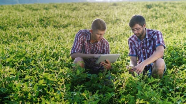 Two agronomist working on a green field, studying the plants, use tablet