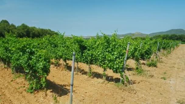 Réva roste na vinici v slunečného letního dne. Katalánsko, Španělsko