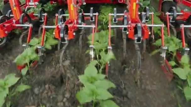 Tractor removes weeds from rows of sunflowers. Environmentally friendly farming without chemicals. View from above