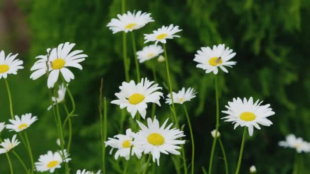 Chamomile flowers, swaying in the wind. Medicinal herbs