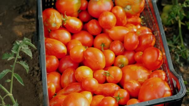 Tomaten auf dem Feld ernten, reife Beeren in die Schublade legen