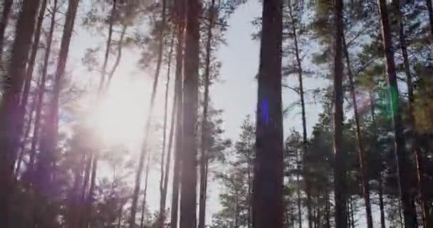 Jízda borovým lesem, slunce svítí mezi stromy