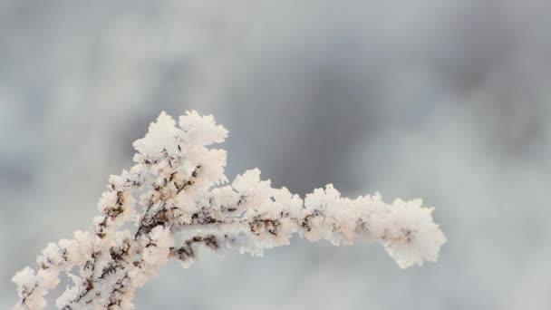 Der Ast ist mit Frost bedeckt, gebeugt und wiegt sich im Wind.