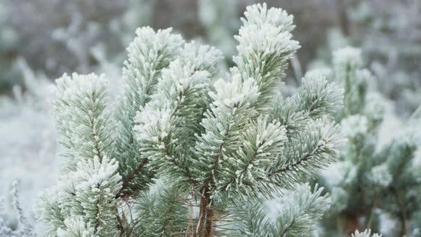 Der flauschige grüne Zweig ist mit Frost bedeckt und nach oben gerichtet.