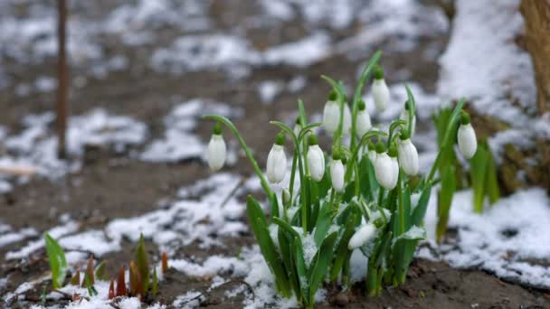 Sněženky čekají na jaře při sněžení.