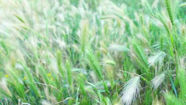 Pozadí video trávy ve větru